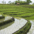 Rice fields on terraces, Indonesia (4) — Stock Photo #1566874