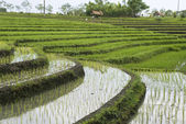 Rice fields on terraces, Indonesia (4) — Stock Photo