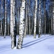 Winter snow birch forest, horizontal — Stock Photo