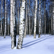 Stock Photo: Winter snow birch forest, horizontal