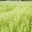 Green oat ears field, August - Stock Photo