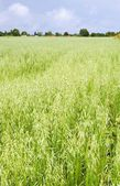 Green oat ears field, August — Stock Photo