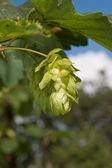 Green cone of hop — Stock Photo