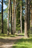 Footpath in a pine wood — Stock Photo