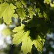 Stock Photo: Leaves of maple