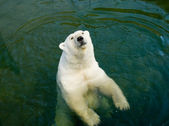 Polar bear — Stock Photo