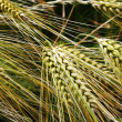 Stock Photo: Wheat