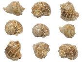 Conjunto de conchas de moluscos marinhos — Foto Stock