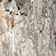 Texture of the pine bark — Stock Photo
