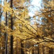 Yellow larch branches — Stock Photo