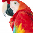 Stock Photo: Red macaw bird isolated