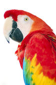 Red macaw bird isolated — Stock Photo