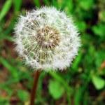 Dandelion Flower — Stock Photo #1291044