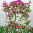 Bougainvillea Flower climber — Stock Photo