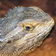 Stock Photo: Desert spiny lizard