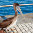 Royalty-Free Stock Photo: Pelican Bird