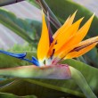 Flower Bird Of Paradise — Stock Photo