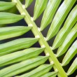 Stock Photo: Ribbed Pine Leaf