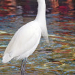 Egret Bird closeup — Stock Photo