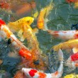 Stock Photo: Colorful Koi Fish