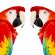 Stock Photo: Golden Red Macaw Bird isolated