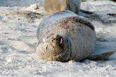 Sea Lion in sand — Stock Photo