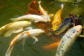 Colorful Koi Fishes — Stock Photo