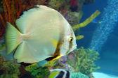 Carpa dourada no aquário — Fotografia Stock