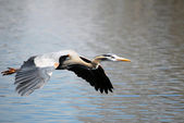 Blue Heron Bird Flying — Stock Photo