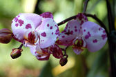 Orchid Flower Phalaenopsis schilleriana — Stock Photo