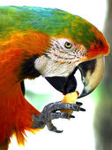 Green Macaw Eating Apple — Stock Photo