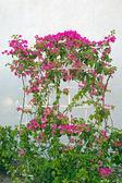 Bougainvillea Flower climber — Stock Photo