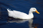 Snow Goose bird — Stock Photo