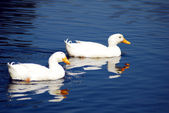 Snow Goose birds — Stock Photo