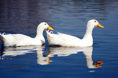Snow Goose birds couple — Stock Photo