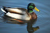 Mallard Drake Duck Swimming — Stock Photo