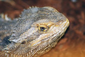 Desert spiny lizard — Stock Photo