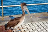 Pelican Bird — Stock Photo