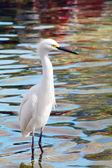 Aves migratorias grúa — Foto de Stock