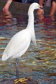 Egret Bird closeup — Stock Photo