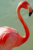 Orange Flamingo Bird closeup — Stock Photo