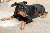 Doberman Pinscher Pet Dog — Stock Photo