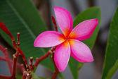 粉红色梅香花 — 图库照片
