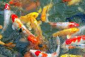 Colorful Koi Fish — Stock Photo