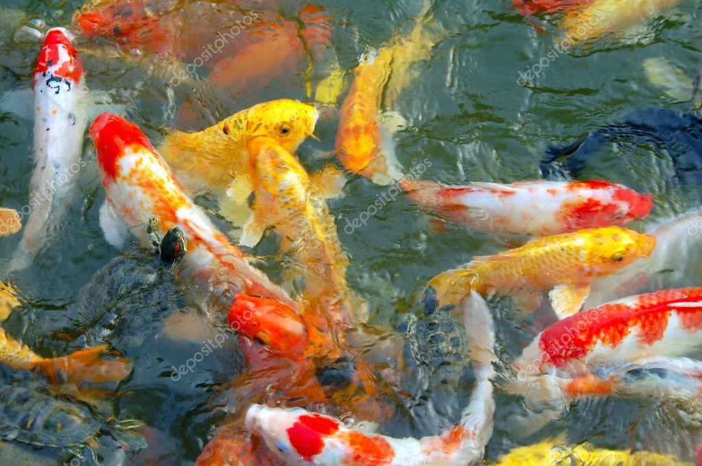 Pez koi colorido foto de stock 1298894 depositphotos - Peces koi precio ...