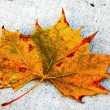 Canada Maple Leaf Fall Season — Stock Photo