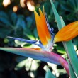 Stock Photo: Flower Bird Of Paradise