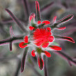 Stock Photo: Red Wildflower in Desert