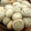Cactus mammilaria plumosa plant — Stock Photo
