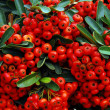 Royalty-Free Stock Photo: Holly and red berries